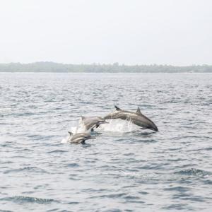 Dolphins Palau Pisang island Sumatra